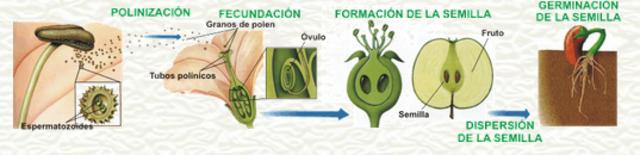 reproducción sexual de las plantas.