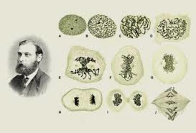 la mitosis (flemming)