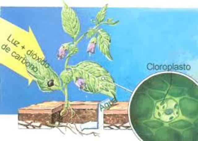 los clioroplastos (schimper)