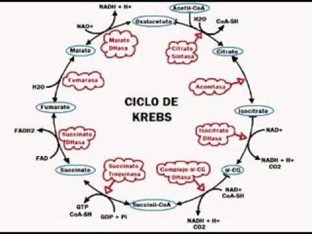 CILO DE KREBS