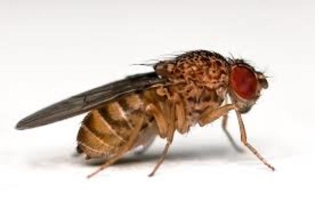 Drosophila lab