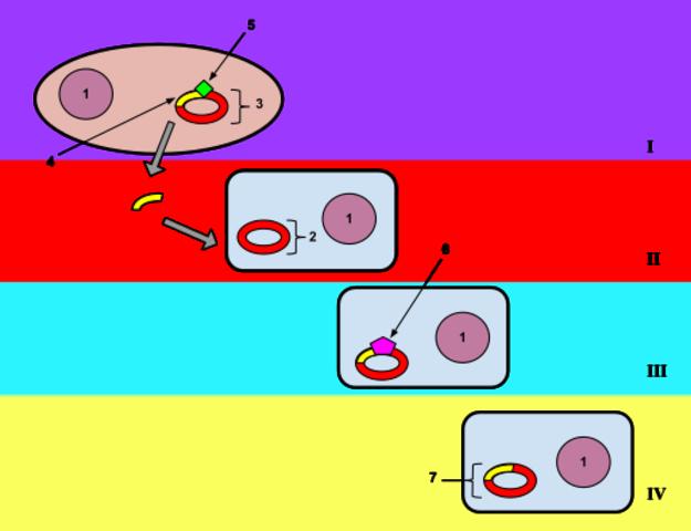 plasmid based transformation
