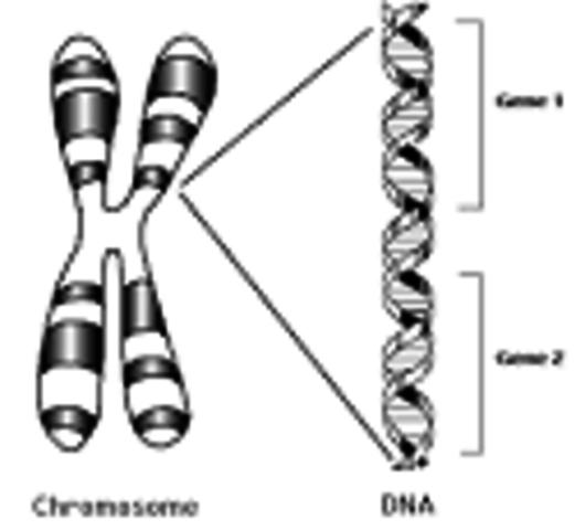 Chromosom Theory of Heredity