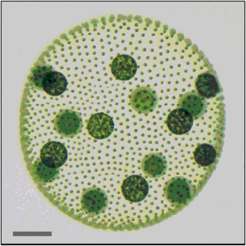Multicellular organisms 1200 million years ago – Precambrian era