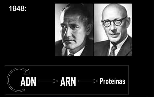 Edwar Lawrie Tatum y George Wells Beadle muestran que los genes codifican las proteínas (enzimas).