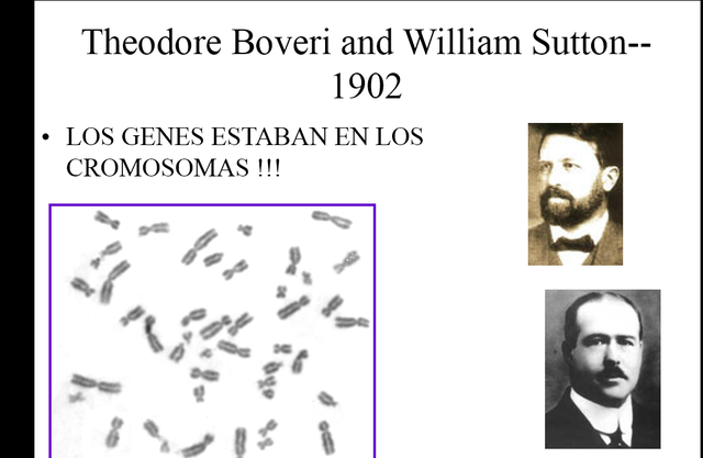 3 Walter Sutton establece la hipótesis según la cual los cromosomas, segregados de modo mendeliano, son unidades hereditarias