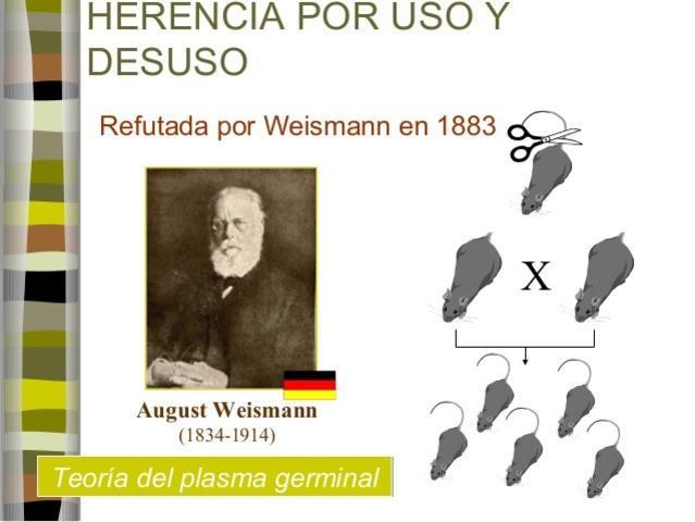 El biólogo August Weismann (1834-1914) comprobó que la base material de la herencia se halla en los cromosomas.