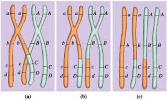 El entrecruzamiento cromosómico se identifica como la causa de la recombinación genética