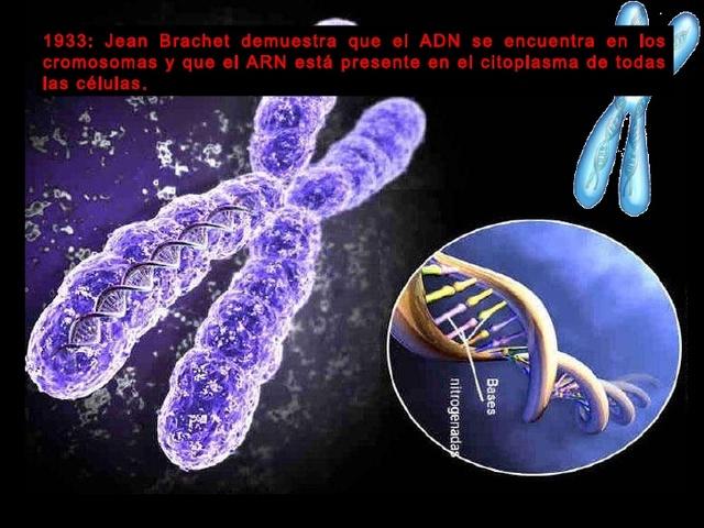 Jean Brachet demuestra que el ADN se encuentra en los cromosomas y que el ARN está presente en el citoplasma de todas las células