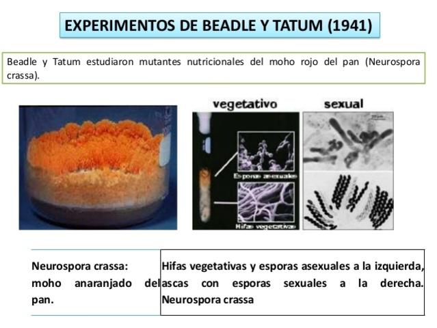 Edward Lawrie Tatum y George Wells Beadle muestran que los genes codifican las proteínas