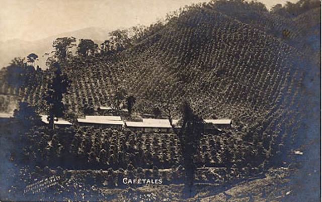 Cultivado el café ppr grandes hacendados