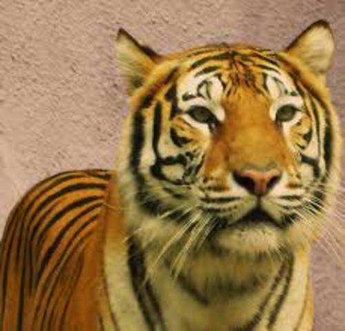 """""""La tigra"""""""