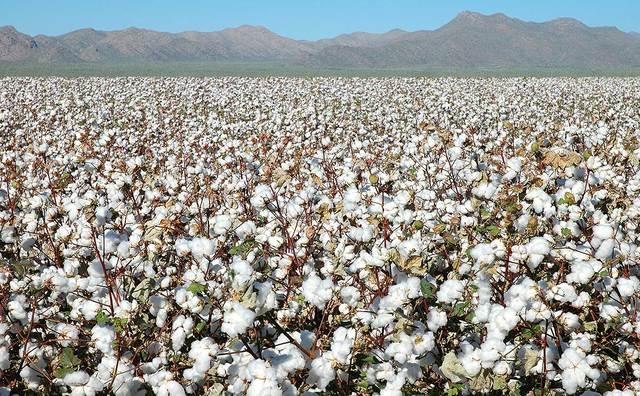 Cotton becomes a Cash Crop