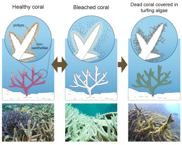Mass Coral Bleaching