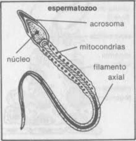 ESPERMATOZOOS