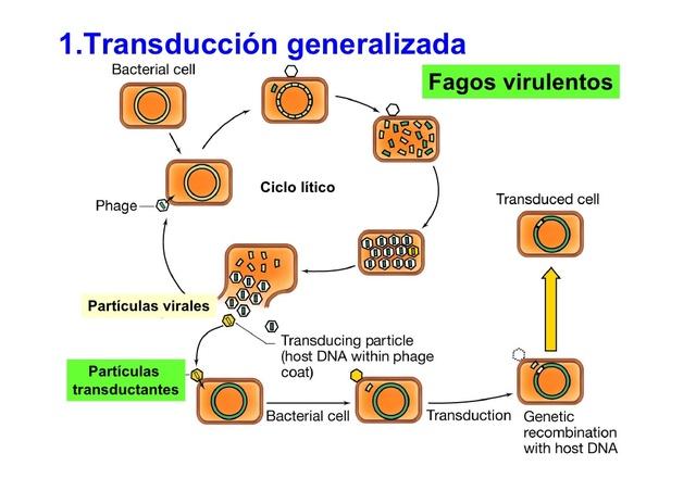 Fenómeno de la transducción generalizada.