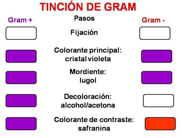 Desarrollo de la tinción de Gram.