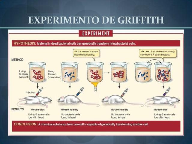 Frederick Griffith lleva a cabo el descubrimiento de la transformación bacteriana.