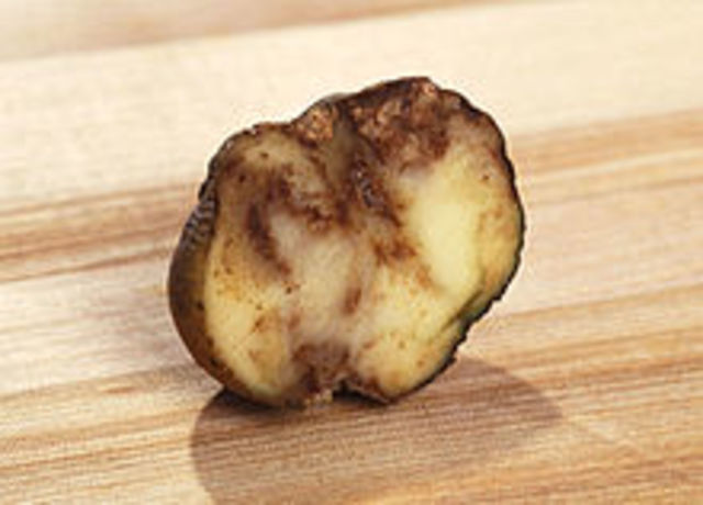Descubre un hongo (Phytophthora infestans)  patata.  Miles Joseph B