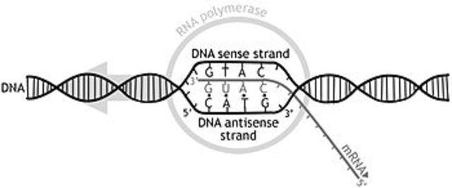 TRANSCRIPCION GENETICA