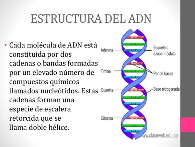 Estructura del ácido desoxirribonucleico