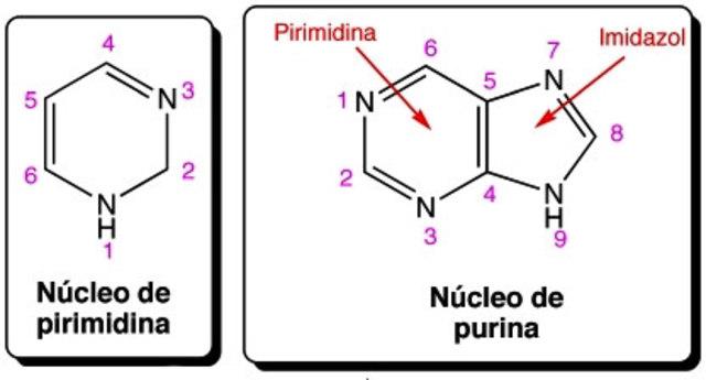 estructura de la purina