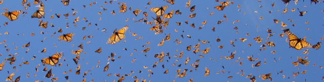 RB Mariposa Monarca