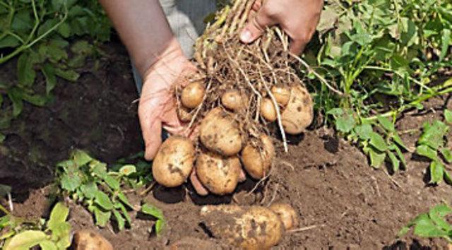 Peruvians Select Genitically Superior Potatoes