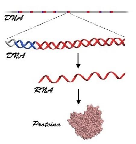 segmentos diferentes  de DNA