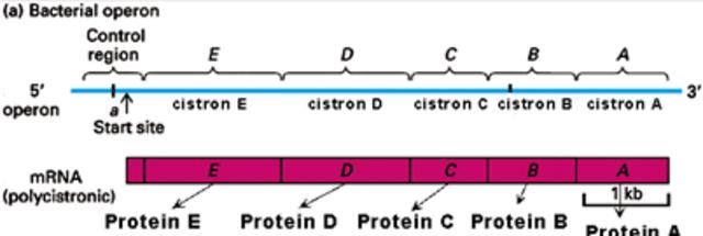 Cistrón