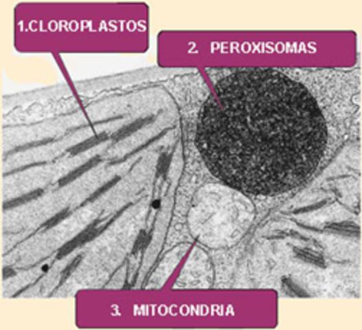 Liso y peroxisomas