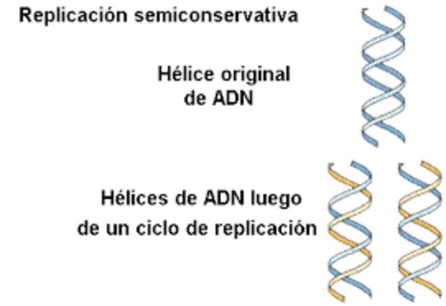Replicación de ADN semiconservativo