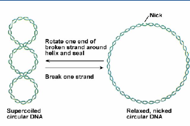 Cromosoma Circular