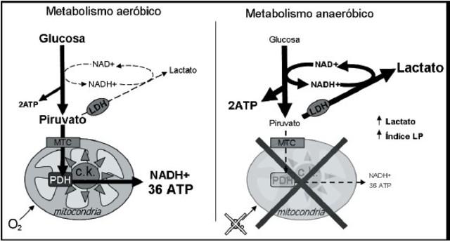 Efectos del crecimiento aeróbicas y anaeróbicas
