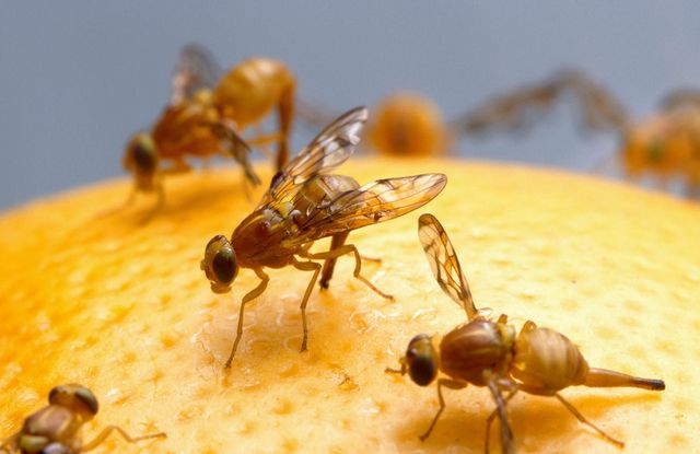 First animals launched into space (fruit flies) by the U.S.