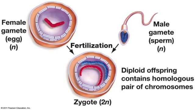 Prenatal - Physical - Fertilization