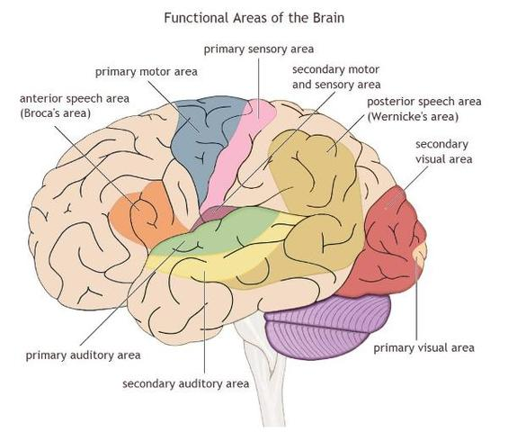 Infancy- Auditory/Visual Cortex Growth Spurts (Physical)