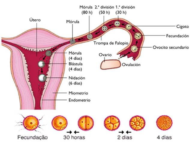 1°semana de embarazo
