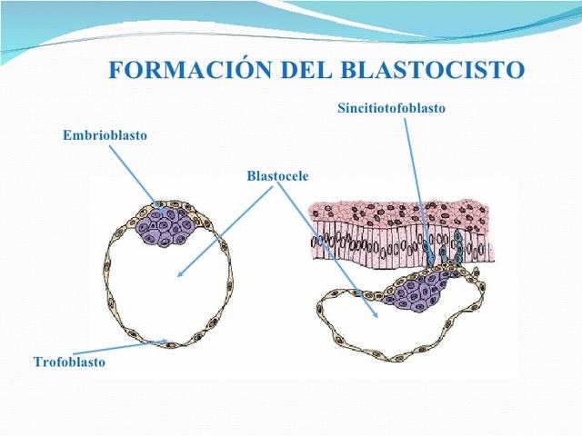Blastocele y Blastocisto