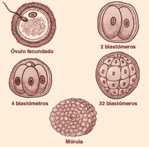 El desarrollo del bebé dentro del útero materno
