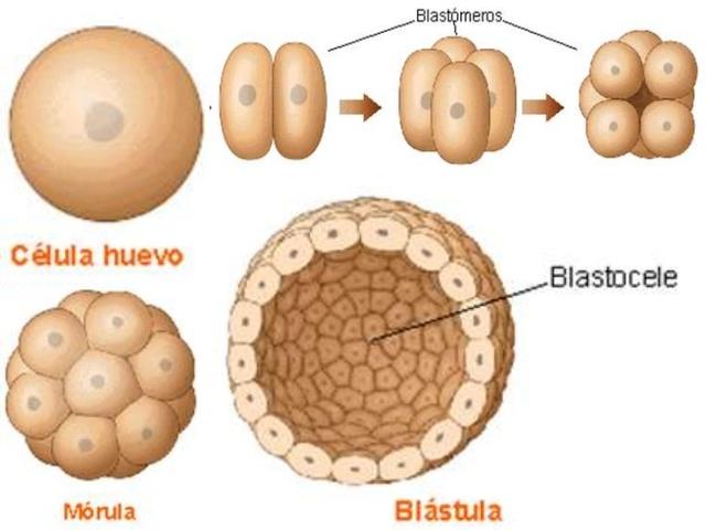 """1ª semana """"Blástula"""""""