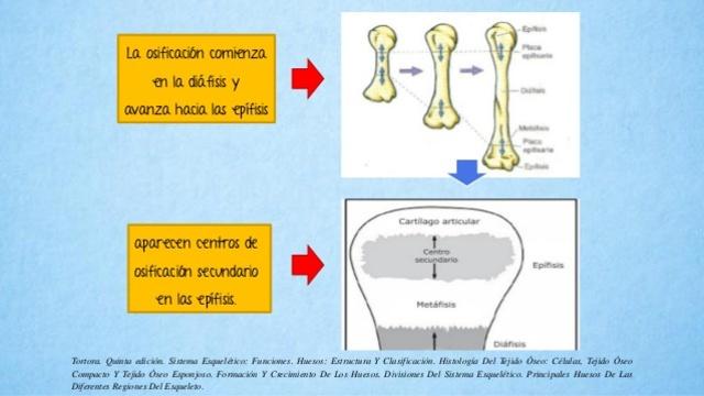 Desarrollo Oseo y muscular