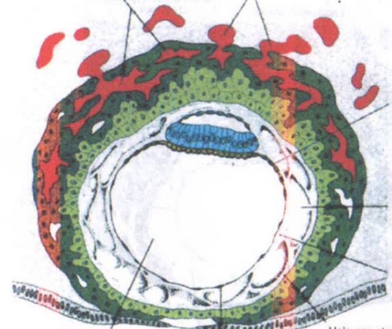 Disco embrionario