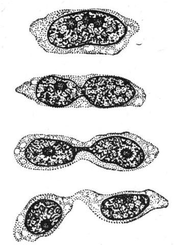 Описание амитоза