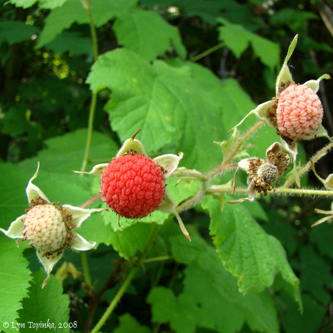 Collection of the Western Thimbleberry