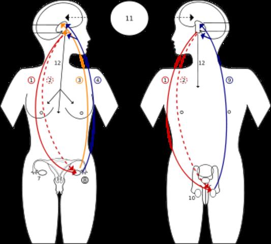 Aparición de las hormonas