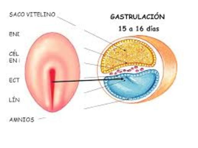 Día 15 - gastrulación