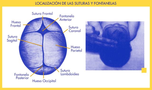 Proporciones Corporales (Cabeza)