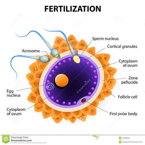 Fecundación: Fase 1.