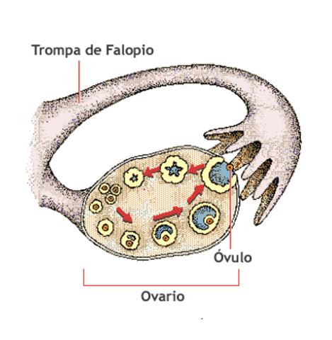 Salida del Ovulo